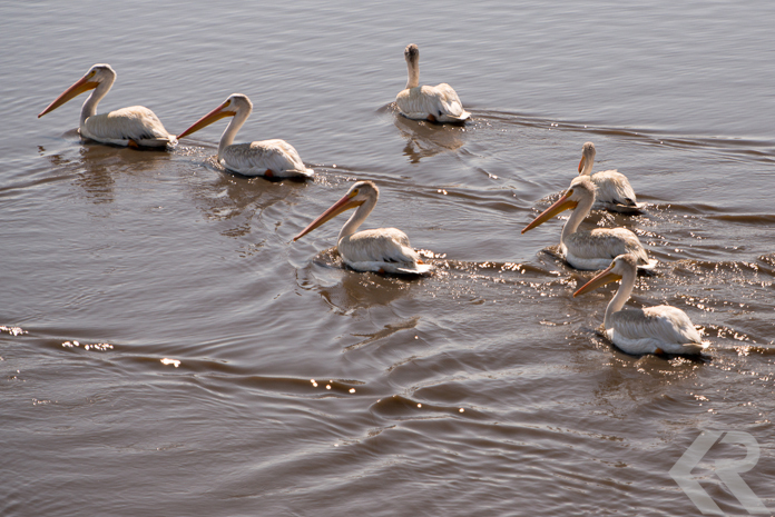 Pelicans at Malheur National Wildlife Reserve.