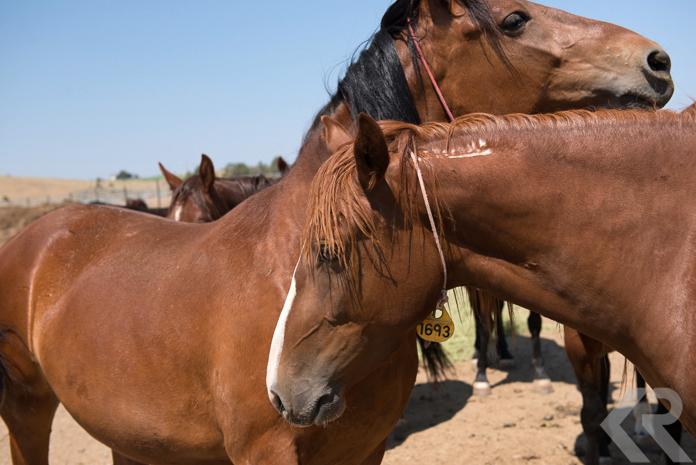 Wild horses at BLM corrals