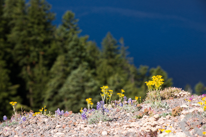 Wildflowers on the Crater Lake caldera.