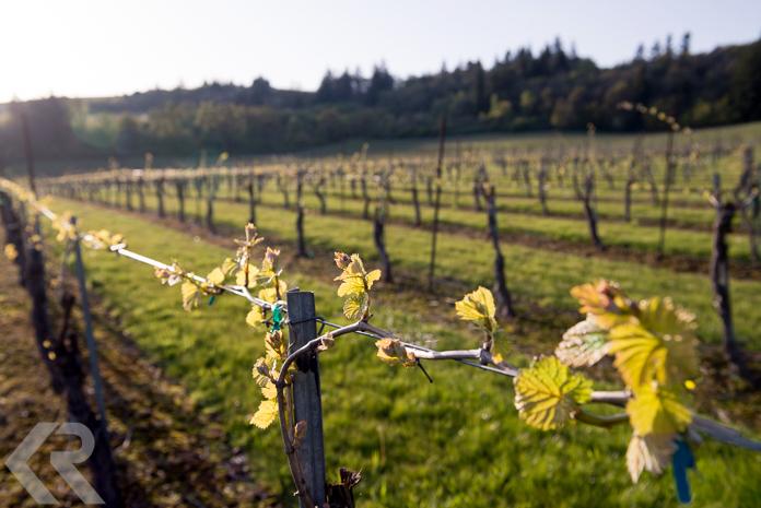Sunset on a springtime vineyard